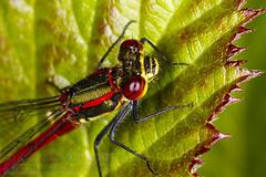 Red damsel (Simon Bone Photography) Tags: detail macro nature closeup magnified ringflash sigma105mm reddamsel canoneos7d wwwsimonbonephotographycouk yongnuoyn14ex