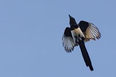 Pie bavarde_DSC1031_DxO (jackez2010) Tags: pie bif birdinflight sal70400g mainleveaf ilca77m2