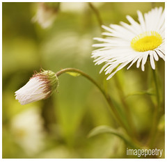 062 (imagepoetry) Tags: flower garden bokeh sigma 70mm imagepoetry sonyalpha gardenlover bokehlover ipoetry