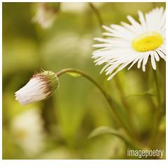 062 (imagepoetry) Tags: flower garden bokeh sigma 70mm imagepoetry sonyalpha gardenlover bokehlover ipoetry