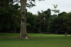 DSC03670 (oliveplum) Tags: nature garden sony singaporebotanicgardens hugetree leica60f28macro