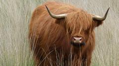 Highland cattle (dejongbram) Tags: cattle highland groningen koe schotse hooglander