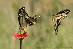 Let's Get it On (HowardCheekPhotography.com) Tags: macro male nature female butterfly giant texas action flight insects mating behavior swallowtails