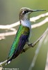Ruby-throated Hummingbird Female - Bayou Courtableau, Louisiana (Image Hunter 1) Tags: bird nature beautiful hat female is louisiana hummingbird little bokeh wildlife bayou swamp twig perch stick perched iridescent marsh rubythroatedhummingbird canoneos7d bayoucourtableau