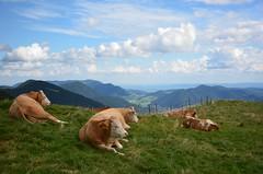 Alpi vissid (anuwintschalek) Tags: autumn mountain berg clouds landscape austria cows herbst wolken september niederösterreich kühe schneeberg 2014 sügis lehm pilved mägi losenheim wolkenbild d7k lehmad nikond7000 18140vr alpilehmad