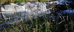 Light and Water 103 (Insearchoflight) Tags: grass naturallight learning lightandshadow naturephotography lightonwater flowingwater outdoorlight newfoundlandandlabrador nikonist grassoverwater waynenorman