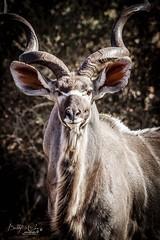 The Male Kudu (Bobby-Jo Clow Photography) Tags: africa safari antelope botswana kudu wildlifephotography tuliblock limpopolipadi