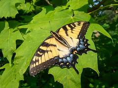 swallowtail on maple leaf (otgpics) Tags: blue black green leaves yellow female tiger samsung s galaxy veins swallowtail papilio glaucus emeral