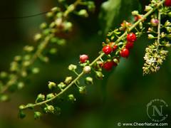 RivinaHumilis-DSC02676 (Akula & Vinay (www.cheernature.com)) Tags: macro nature garden berry humilis lilliputian rivina cheernature