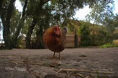 chicky...