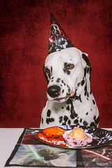 Birthday Party II (Bea Burin-Herbst | Fotografie) Tags: birthday party portrait dog pet pets dogs cake studio photography starwars indoor geburtstag september hund muffin dalmatian hunde snape kuchen 2014 rde dalmatiner petphotography tierfotografie petphotographer haustierfotografie burinherbst petspetphotography burinherbstphotography