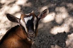 Goat (aligranu) Tags: travel summer holiday animal animals zoo garda goat safari verona animali lakegarda lagodigarda capra 2014 zoological parconaturaviva animalphotography travelphotography zoologicalpark bussolengo