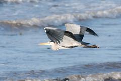 Heron (Shane Jones) Tags: heron greyheron bird wader predator wildlife nikon d500 200400vr tc14eii