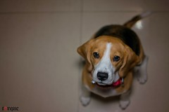 Pawesome (torqueabhi) Tags: beagles dogs dog portrait pet eyes love beagle portraiture nikon closeup focus cute cutie honey petlovers paw pawesome indoor d5300 35mm externalflash flash yongnuo