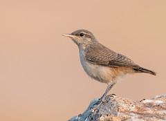 IMG_7167 (ben.roberts999) Tags: bird nv reno rockwren usa wildlife