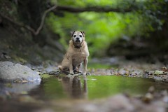 Birty (Ben Lockett) Tags: knyperselypool knyp walk 5d canon pet brown water shallow dof blur bokeh light burn brook stream trent bedrock rock forest woodland tree fallentree branch greenery river reflection border terrier lakeland cross pug old puppy cute animal dog birty 85l ii