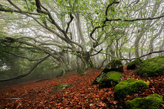 [Explore 18/10/2016 n21] Mystic Forest (Tekila63) Tags: mystic haunted forest tree mist automn leaves beech moss enchanted brilliant