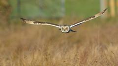 Short-eared Owl (image 1 of 4) (Full Moon Images) Tags: rspb fen drayton lakes wildlife nature reserve cambridgeshire bird prey birdofprey flight flying shorteared owl short eared seo