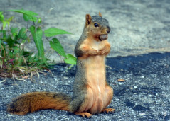 Hungry (jcdriftwood) Tags: squirrel nut food winter foxsquirrel