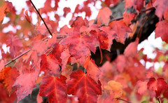 Old Red (Lala Lands) Tags: redmaple acerrubrum nativemapletrees newengland autumnmorninglight bokeh dof nikond7200