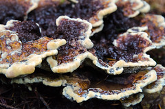 Earth Tones (Tom Fenske Photography) Tags: mushroom fungus nature fall rain brown