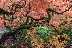 Japanese Maple (jeff's pixels) Tags: kubota japanese outdoors tree maple seattle nature color garden zen fall autumn