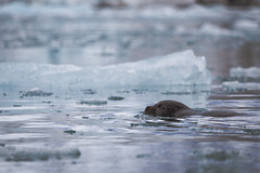 Bearded Seal at Monacobreen Svalbard Lauri Novak (LauriNovakPhotography) Tags: arctic glacier icebergs monacobreen oneocean spitsbergen travel beardedseal seal nature outdoor water ocean blue ice