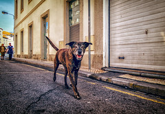 """Walkin' the Dog"" (Dale Michelsohn) Tags: portugal dog walk street town animal canine road hound dalemichelsohn canon g5x"