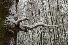ckuchem-1637 (christine_kuchem) Tags: baumrinde buche bume eiche eis frost hainbuche natur pfad pflanzen ruhe samen spuren stille struktur wald weg wildpflanzen winter einsam kalt schnee ste