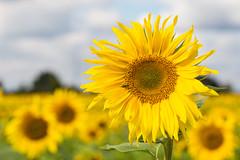 happy suns (++sepp++) Tags: bayern deutschland lechfeld graben de sonnenblume sunflower sonnig sunny natur nature blumen flowers blten blossoms yellow gelb