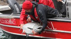 60626375 (QCL Shooter) Tags: qcl haidagwaii bcfishing salmon sportfishing queencharlottelodge fishingfirstclass adventure chinook halibut cr catchrelease