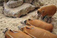 Pairi Daiza - Zoo - Belgium - 0196 (Snyers Bert) Tags: allerlei pairidaiza animal animals belgium bergen daiza gardensoftheworld mons pairi zoo brugelette wallonie