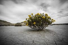Esperando la lluvia (Mauro Esains) Tags: flores sequa grietas astra amarillo arcilla cerros patagonia tormenta nubes paisaje cielo aire libre soledad