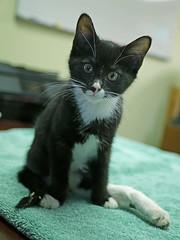 Karma & Phoenix_08 (AbbyB.) Tags: mtpleasantanimalshelter easthanovernj newjersey kitten cat feline abandoned leg injury adopt rescue pet shelterpet petphotography