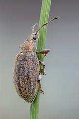 Phyllobius pyri (Cristian Arghius) Tags: canoneos6d canonmpe65mm rrstp243tripod kpst5d zerenestacker macro naturallight focusstack insect beetle phyllobiuspyri