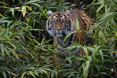 Sumatran tiger - Burgers Zoo (Mandenno photography) Tags: dierenpark dierentuin dieren animal animals nederland netherlands tiger tijger tigers tijgers ngc sumatran sumatraanse burgers burgerszoo zoo