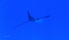 Fly (kyshokada) Tags: eagleray ray scuba diving fiji underwater pacific powershot canon reef astrolabereef animalplanet