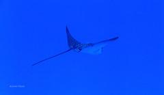 Fly (kyshokada) Tags: eagleray ray scuba diving fiji underwater pacific powershot canon reef astrolabereef animalplanet