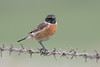 Stonechat ♂ (Shane Jones) Tags: stonechat bird wildlie nature nikon d500 200400vr tc14eii
