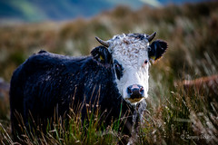 Black Eye (JKmedia) Tags: cow bovine snowdonia national park wales northwales farm animal llanberis curly horns patheticnonsenseflickrautotags