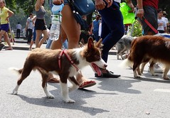 Puppy! (program monkey) Tags: vietnam hanoi oldquarter walk dog puppy