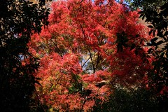 Momiji (ababhastopographer) Tags: nara kasugayama mtkasuga yagyuroad maple acerpalmatum gradation      shadowplay leaves kasuga