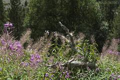 Bielsa 2016 13 (SABORIDO) Tags: bielsa pineta pirineos pirineus ordesa valldordesa osca huesca