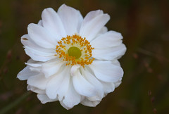 A Shining Light (AnyMotion) Tags: japaneseanemone herbstanemone anemonejaponica blossom blte 2016 anymotion maincemetery hauptfriedhof frankfurt hessen germany floral flowers 7d2 canoneos7dmarkii colors colours farben white weiss yellow gelb autumn fall herbst automne otoo macro makro makroaufnahmen ngc npc