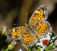 Pearl Crescent (tresed47) Tags: 2016 201609sep 201610oct 20161006chestercountymacro butterflies canon7d chamberslake chestercounty content crescent folder insects macro pearlcrescent pennsylvania peterscamera petersphotos places takenby technical us