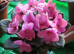 4-IMG_1535 (hemingwayfoto) Tags: balkon blhen blte blume floristik macro natur topfpflanze usambaraveilchen zierpflanze zuchtform