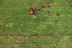 Rehbock (05) (Rdiger Stehn) Tags: tiere sugetiere natur 2016 deutschland germany norddeutschland europa mitteleuropa 2000er 2000s stirnwaffentrger pecora hirsche cervidae eutheria laurasiatheria paarhufer artiodactyla wiederkuer canoneos550d trughirsche capreolinae capreolini rehe capreolus reh capreoluscapreolus rehbock europischesreh