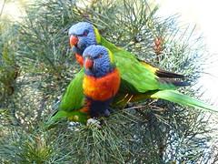 Lorikeets (teressa92) Tags: birds colors feathers lorikeets green teressa92 two wings