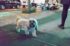 Chloe, Lhasa Apso (Charley Lhasa) Tags: ricohgrii grii 183mm 28mm35mmequivalent iso18000 ¹⁄₆₀secatf28 0ev aperturepriority pattern noflash r010670 dng uncropped taken161126185907 uploaded161201235703 3stars flagged adobelightroomcc20157 lightroomcc20157 adobelightroom lightroom chloe lhasaapso lhasaapsos dog dogs dogsmet sidewalk walk night evening upperwestside uws manhattan newyorkcity nyc newyork ny tumblr161201 httpstmblrcozpjiby2fnkzqz