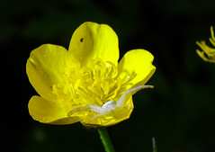 Araa Cangrejo. (loriagaon) Tags: macro loriagaon loria sonydscrx10 rx10 flores flowers animales animals araa spider naturaleza nature galicia pontevedra espaa plantas plants